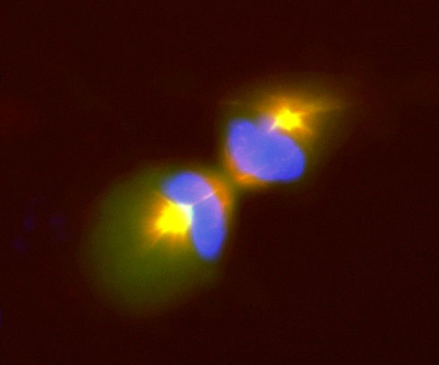 Image 37 COS7 cell undergoing mitosis transfected with DCX DsRed and µ1a-GFP and and stained with DAPI.