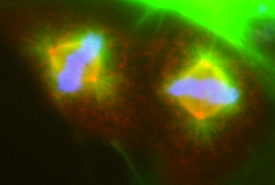 Image 38 COS7 cells undergoing mitosis transfected with DCX DsRed and stained with gamma tubulin/FITC and DAPI.