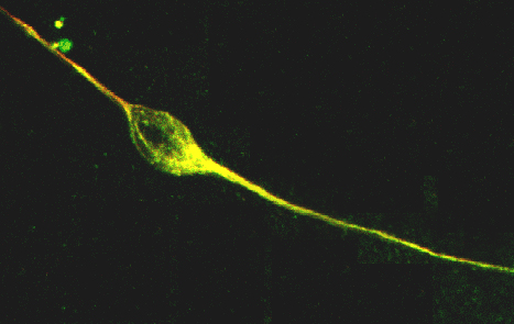 Image 24 confocal neuron2